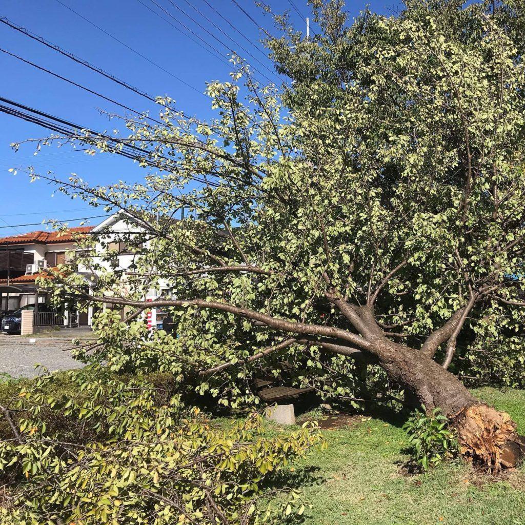 壊れた桜の木